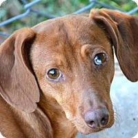 Dachshund Dog for adoption in Bedford, Texas - Lil Red