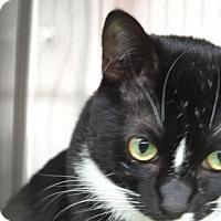 Domestic Shorthair Cat for adoption in Tucson, Arizona - PAISLEY