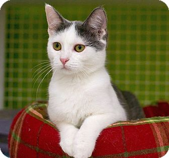 Domestic Shorthair Kitten for adoption in Troy, Michigan - Jo