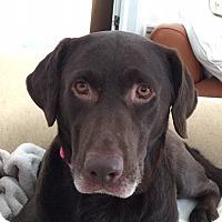 Labrador Retriever Mix Dog for adoption in Charleston, South Carolina - Layla