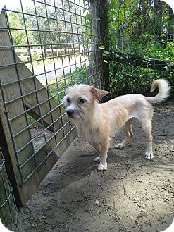 Terrier (Unknown Type, Small) Mix Dog for adoption in Odessa, Florida - Suggs