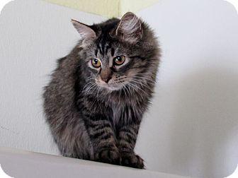 Domestic Longhair Kitten for adoption in Grinnell, Iowa - Ebony
