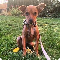 Adopt A Pet :: Felix -Darling Little Boy! - Seattle, WA