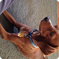 Adopt A Pet :: Charlie - La Verne, CA