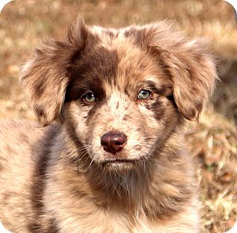 Australian Shepherd Mix Puppy for adoption in Glastonbury, Connecticut - Promise~adopted!