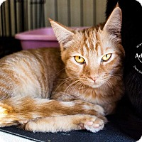 Domestic Shorthair Kitten for adoption in Mooresville, North Carolina - A..  Thurston