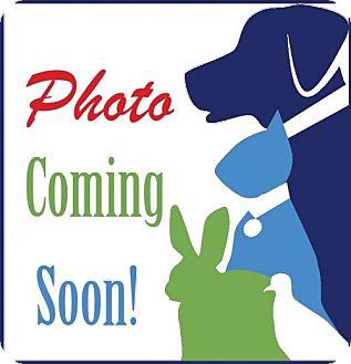 Canaan Dog Dog for adoption in Alexandria, Virginia - Fares