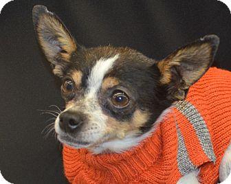 Chihuahua Mix Dog for adoption in Bridgeton, Missouri - Gordy