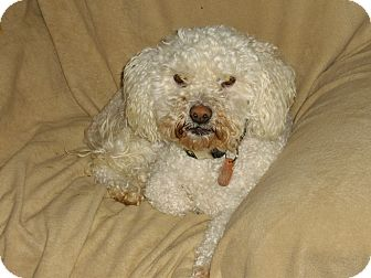 Poodle (Miniature) Dog for adoption in Sheridan, Oregon - Cody
