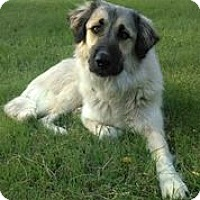 Adopt A Pet :: Luz - Austin, TX