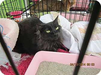 Domestic Longhair Cat for adoption in Long Beach, California - Graham