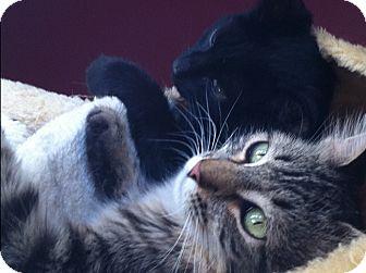 Maine Coon Cat for adoption in Los Angeles, California - Nema