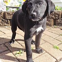 Adopt A Pet :: Moe - West Chicago, IL