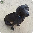 Adopt A Pet :: Beatrix