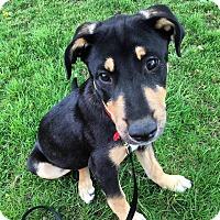 Adopt A Pet :: Nitro-Adopted! - Detroit, MI