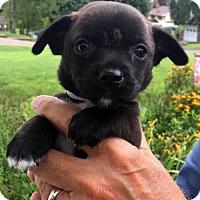 Adopt A Pet :: Netty - Danbury, CT
