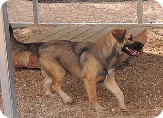 Shepherd (Unknown Type) Mix Dog for adoption in House Springs, Missouri - Chandler