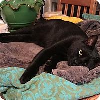 Adopt A Pet :: Cobalt - Woodinville, WA