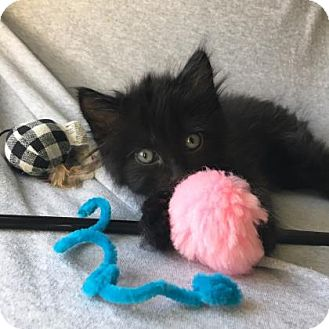 Domestic Longhair Kitten for adoption in Austin, Texas - Gia