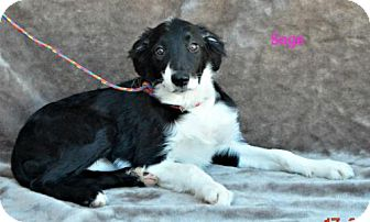 Border Collie Mix Dog for adoption in Yreka, California - Sage