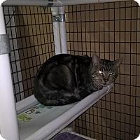 Domestic Shorthair Cat for adoption in Brea, California - TEDDY