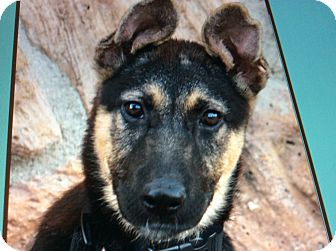 German Shepherd Dog Puppy for adoption in Los Angeles, California - PAIGE VON PRINZESSIN