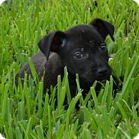 Adopt A Pet :: Blaze - Sanford, FL