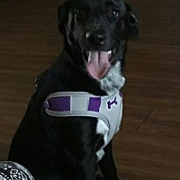 Labrador Retriever Mix Puppy for adoption in Dallas, Texas - Cute Coco Puff