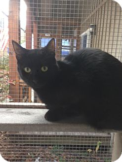 Domestic Shorthair Cat for adoption in Cashiers, North Carolina - Raven