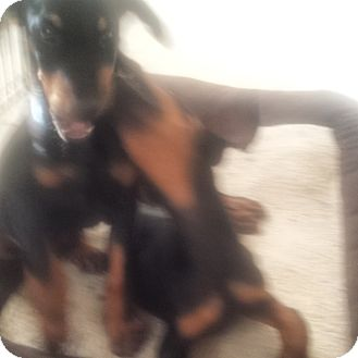 Doberman Pinscher Puppy for adoption in spring valley, California - Sahara and Baby