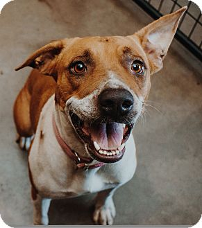 Boxer Mix Dog for adoption in Apache Junction, Arizona - Mystic