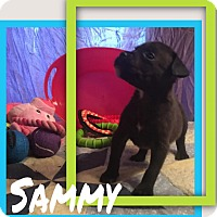 Adopt A Pet :: Sammy - Cat Spring, TX