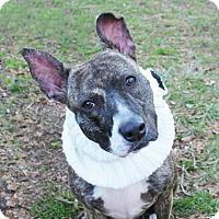 Adopt A Pet :: Bella - Brooklyn, NY