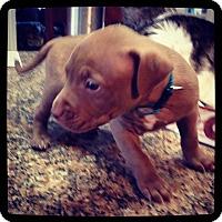 Adopt A Pet :: Hulk - Grand Bay, AL