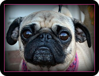 Pug Dog for adoption in Mays Landing, New Jersey - Rozie-VA