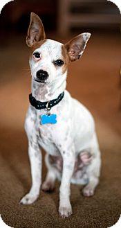 Rat Terrier/Fox Terrier (Toy) Mix Puppy for adoption in San Diego, California - OSCAR