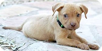 Labrador Retriever/Terrier (Unknown Type, Medium) Mix Puppy for adoption in Phoenix, Arizona - Luna
