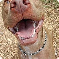 American Pit Bull Terrier Mix Dog for adoption in Cedar Creek, Texas - Trip