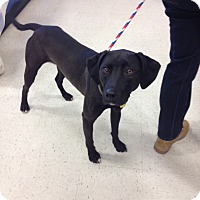 Adopt A Pet :: Roxy in CT - East Hartford, CT