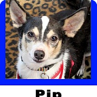 Adopt A Pet :: Pip - Plano, TX