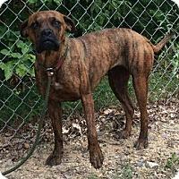 Adopt A Pet :: Roxy - Brattleboro, VT