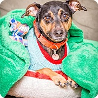 Manchester Terrier Dog for adoption in Fargo, North Dakota - Merlin