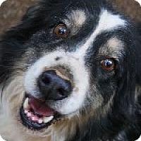 Australian Shepherd Dog for adoption in Pt. Richmond, California - BAILEY