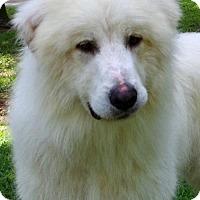Adopt A Pet :: Abe Lincoln B Farm Dog Extraordinaire - Locust Fork, AL
