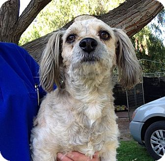 Yorkie, Yorkshire Terrier/Cocker Spaniel Mix Dog for adoption in Temecula, California - Billy
