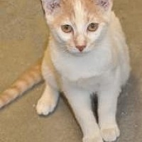 Domestic Shorthair Kitten for adoption in Pompano Beach, Florida - Boca Sammy