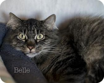 Domestic Shorthair Cat for adoption in West Des Moines, Iowa - Belle