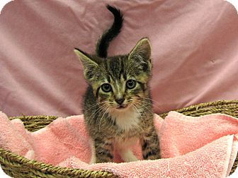 Domestic Shorthair Kitten for adoption in Redwood Falls, Minnesota - Etta