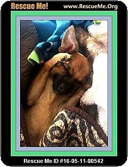 Chihuahua Puppy for adoption in Murrieta, California - Ziggy