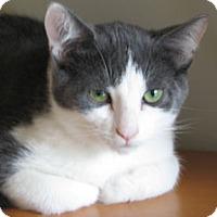 Domestic Shorthair Kitten for adoption in Verdun, Quebec - Eddie